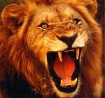 lion-roar-roaring-teeth-mad-angry-